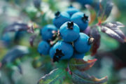 The Scoop on Blueberries