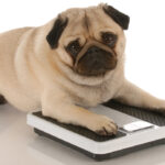 animal health – cute pug dog laying on weigh scales